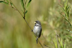Coleirinha DSC_1032 (oliprioli) Tags: aves brazil birdwatching birds observação de pássaros bird sporophila caerulescens coleirinho