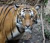 Connor (greekgal.esm) Tags: malayantiger tiger bigcat cat feline animal mammal carnivore connor sandiegozoo sdzoo sandiegozooglobal sdzglobal sandiego sony rx10m3 rx10iii