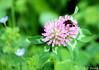 Luzerne et Bourdon (jean-daniel david) Tags: fleur luzerne mauve vert bokeh bourdon nature closeup verdure insecte insectevolant