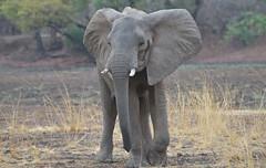 _DSC4341. Elefant (Berit Christophersen) Tags: elefant africanelephant afrikanskelefant africa afrika safari zambia southluangwanationalpark loxodontaafricana wildlife kafuntasafaris