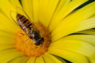 Hover fly | Schwebfliege (Syrphidae)