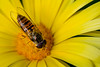 Hover fly | Schwebfliege (Syrphidae) (woo_73) Tags: schwebfliege fliege insekt hover fly natur nature