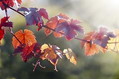 Autumn moments - just leaves! (Elisafox22) Tags: elisafox22 sony a58 meyeroptik lens meyeroptikorestor bokehmonster 135mmf28 15blade vintagelens red 7autumnmoments leaves branch sunshine lensflare bokeh bokehwednesday hbw autumn leithhall kennethmont aberdeenshire scotland elisaliddell©2017 htt texturaltuesday