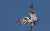 black-shouldered kite (Elanus axillaris)-3297 (rawshorty) Tags: rawshorty birds canberra australia act jerrabomberrawetlands