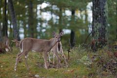 Edit -1-22 (Dane Van) Tags: ccr canadacreekranch atlantamichigan deer funny canon canon5d 135mm