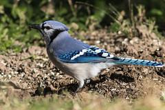 Blue Jay (explored 11/10/2017) (Lynn Tweedie) Tags: