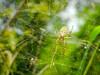 Cool Web Designer (Jimweaver) Tags: cyrtophora moluccensis spider web tree taipei dagowstream park neihu 泉字雲斑蛛 insect 台灣 台北 大溝溪 公園 生態 bio green yellow scare taiwan silk mess asia