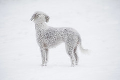 Camouflaged (CoolMcFlash) Tags: animal dog pet minimalistic minimalism minimalistisch winter snow white canon eos 60d tier hund haustier schnee weis cold kalt fotografie photography tamron b008 18270 whiteonwhite