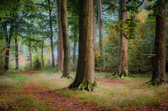 A forest story (Ingeborg Ruyken) Tags: dropbox autumn october fall flickr ochtend trees wamberg bomen bosfilmpje oktober 500pxs natuurfotografie morning 2017 bos forest