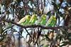 Budgerigar / Melopsittacus undulatus (leighpieterse) Tags: bird parrot budgerigar birds birdwatching australianbirds australianbird