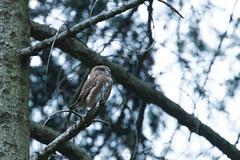 EG170430_64232 (Eric Gangloff) Tags: aves birds chevêchettedeurope eurasianpygmyowl glaucidiumpasserinum oiseaux strigidae strigidés strigiformes