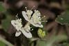 Woolly Xanthosia (Xanthosia pilosa Rudge) ([S u m m i t] s c a p e) Tags: apiaceae bluemountains leura woollyxanthosia nativeplants summer white bluemountainsnationalpark newsouthwales australia