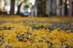 365-348 (Letua) Tags: 365project buenosaires alfombra amarillo carpet floor flores flowers naturaleza nature piso primavera spring yellow tipas