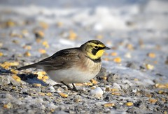 Horned Lark (hd.niel) Tags: horned lark nature wildlife ontario photography