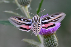 What's in a Name (NaturalLight) Tags: whitelinedsphinxmoth whitelined sphinx moth chisholmcreekpark wichita kansas