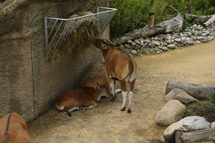 Chester Zoo Islands (58) (rs1979) Tags: chesterzoo zoo chester islands banteng