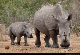 White rhinoceros with young one, Kruger NP, South Africa