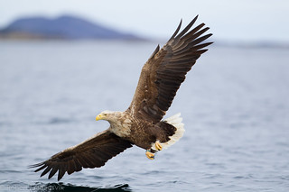 Havørn - White Tailed Eagle