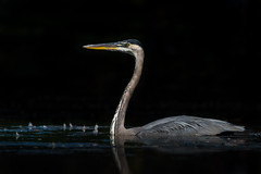 Swimming under the spotlight (Sammyboy77) Tags: grandhéron greatblueheron sammyboy77 spotlight swimming dark black pond ardeaherodias