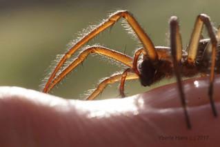 Spider on my fingertip (4107)
