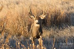 Watchful Mule Deer buck