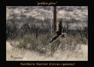 _45A0511 Northern Harrier ©Dancing Snake Nature Photography(1