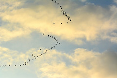 Two V (NaturalLight) Tags: canada geese v formation clouds chisholmcreekpark wichita kansas