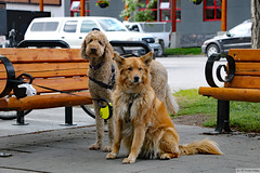(:Dog) Faces of Banff (Canadian Pacific) Tags: banff town centre city downtown alberta canada canadian 2017aimg0249 122 bearstreet bench public
