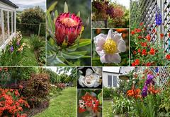Postcard from My Garden in Akaora (Jocey K) Tags: newzealand nikond750 southisland akaora garden collage postcard flowers iris peony house abigfave