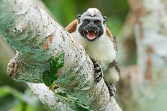 Geoffroy's Tamarin (Saguinus geoffroyi) (Hamilton Images) Tags: geoffroystamarin saguinusgeoffroyi monkey mammal fur tropicalforest canopytower panama centralamerica canon 7dmarkii 500mm february 2017 img8399