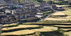 Start of the barley harvest at Yondza, Tibet 2017 (reurinkjan) Tags: tibetབོད བོད་ལྗོངས། 2017 ༢༠༡༧་ ©janreurink tibetanplateauབོད་མཐོ་སྒང་bötogang tibetautonomousregion tar dingriདིང་རི།county yondzatown barleytobereapedབརྔོད་བྱའི་ནས harvesttimeསྟོན་དུས།töndü harvestedསྟོན་བསྡུསtöndü harvestfitforthesickleབརྔའ་བྱའི་ལོ་ཏོགngajélotok barleyterrace tibetannationalitytibetansབོད་རིགས།bodrigs tibetannationtibetanpeopleབོད་ཀྱི་མི་བརྒྱུདbökyimigyü himalayaཧི་མ་ལ་ཡ་