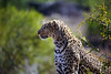 Watching (crafty1tutu (Ann)) Tags: travel 2016 southafrica krugernationalpark animal leopard female free roamingfree inthewild canon5dmkiii ef100400mmf4556lisiiusm anncameron naturethroughthelens naturescarousel