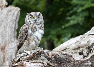 Northern horned owl (Bubo virginianus)