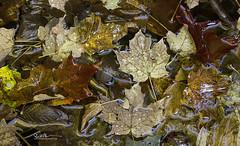 MA_64A2629 2crp (Ed Boudreau) Tags: massachusetts falls autumn autumnmassachusetts berkshires berkshirecounty autumnleaves newengland westernmassachusetts leaves wetleaves leavesonrock granite usa