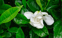 Cape jasmine flower at garden (phuong.sg@gmail.com) Tags: background beautiful beauty blooming blossom botany bright bush cape close closeup color detail environment flora floral flower fresh freshness garden green jasmine leaf leaves light macro morning natural nature park pattern petals plant pollen pretty pure season spring summer tree white yellow