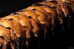 Pine Cone (iecharleton) Tags: macromondays stonerhymingzone pinecone conifer cone pine wood tree autumn closeup macro nature blackbackground texture