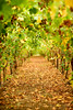 The vineyard (Ran Z) Tags: vineyard ranzisovitch autumn nikond800e sigma85mmf14dghsmart beautiful landscape nature wine israel
