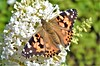 Painted Lady Butterfly (Bob Silver :o)) Tags: painted lady butterfly summer