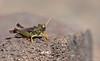 Dericorys lobata (Jérémy Thomas Photo) Tags: insect grasshopper orthoptera orthoptère hexapoda hexapode invertebrate invertébré rock roche caillou life vie nature macro color couleur multicolore strange étrange bizarre odd