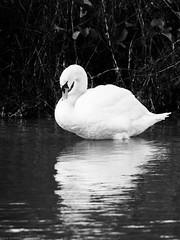 Black & White Swan (ea.leclercq) Tags: swan cygne black white noir blanc bird oiseau wildlife sauvage nord france sailly lys