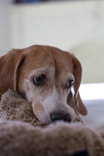 Sad Thanksgiving Beagle
