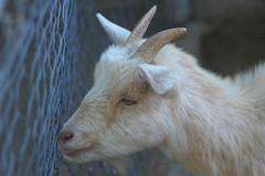 Midget goat
