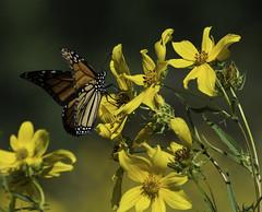 MonarchButterfly_SAF2172 (sara97) Tags: danausplexippus butterfly copyright©2017saraannefinke endangered insect missouri monarch monarchbutterfly photobysaraannefinke pollinator saintlouis