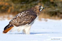 Red-tailed Hawk - side profile (Earl Reinink) Tags: bird raptor hawk redtailedhawk earlreinink birdsinontario