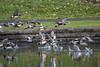 Rubber ducky birds (lamoustique) Tags: americanwigeon anasamericana canarddamérique canardsiffleurdamérique canardàfrontblanc baldpate klinelinepark salmoncreek vancouver washington marecaamericana