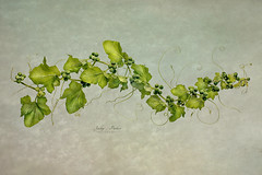 White bryony- Bryonia dioica (Jacky Parker Flower Photography) Tags: bryoniadioica whitebryony plat weed garden gardening summer gardenweed climbingplant summergarden tendrils closeup beautyinnature studioimage indoors nopeople