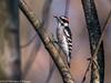 Area birds 3 Dec 17-5672-2 (Monica Pileggi) Tags: morganrunpark pineyrunpark birds cedars owls ngc
