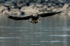 Bold Eagle (Rafael Arvelo C.) Tags: eagle bold usa eeuu boldeagle