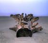 The history of a driftwood (Robyn Hooz) Tags: driftwood tronco rami sabbia sadness tristezza cut taglio tagliato veneto horizon orizzonte dead morto naturamorta stilllife still adige