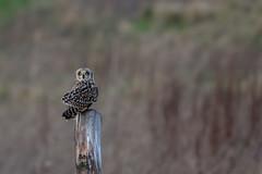 Short Eared Owl (kezbieh) Tags: da300 k3 pentax shortearedowl england uk lunt raptor birdofprey owl